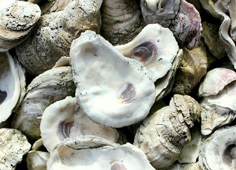 Oyster Shells; Louisiana; Oyster;