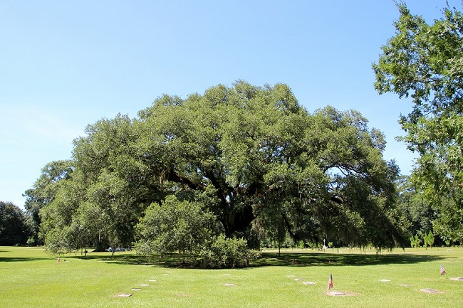 Abbot Paul Schaueble Oak Tree at St Joseph Abbey