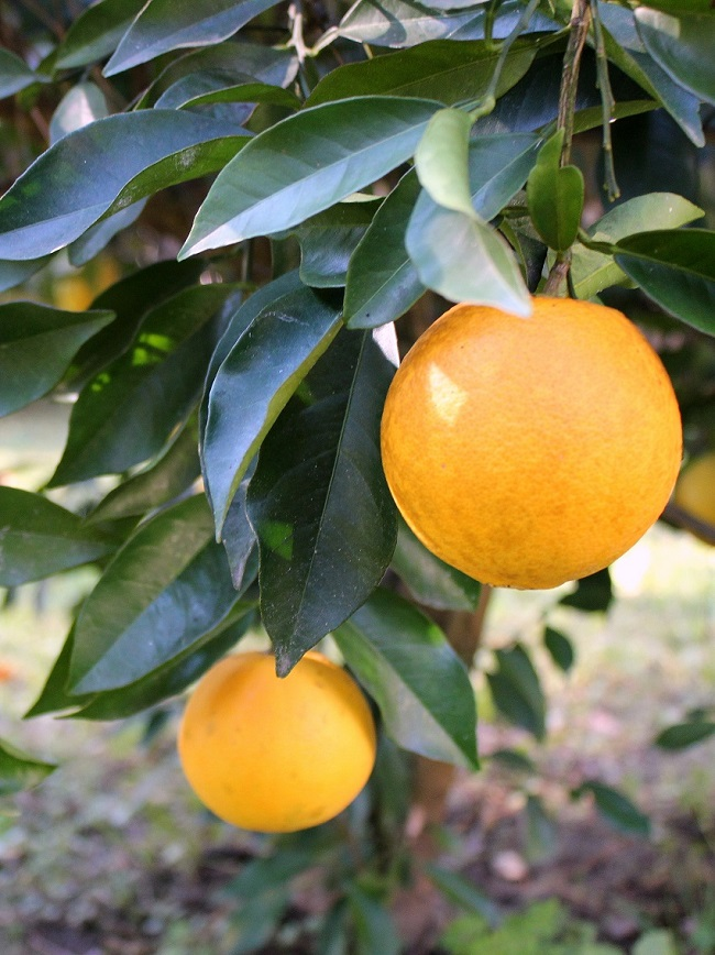 Louisiana-Sweet-Citrus-Orange-Tree