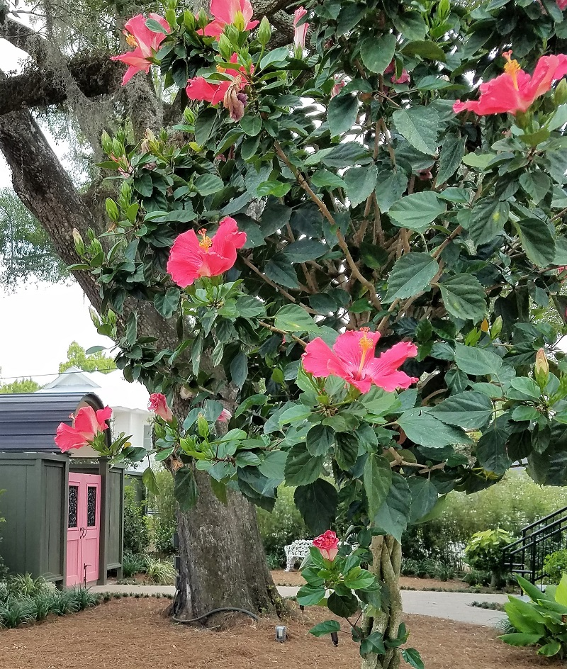 Garden House of Southern Hotel, lush garden with potted flowering hibiscus shrub