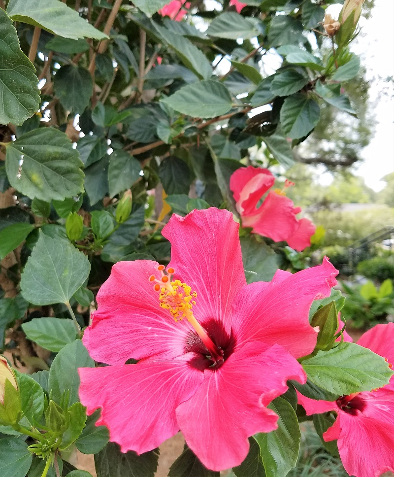 Pink Hibiscus plant; nature's color scheme; pink and green; photo by Patricia Shutts Spicuzza